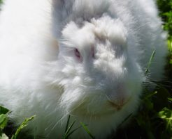 アンゴラウサギ 毛玉病