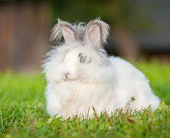 アンゴラウサギ 値段 種類 特徴