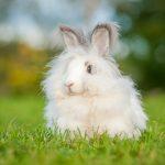 アンゴラウサギの生息地や寿命とは!?