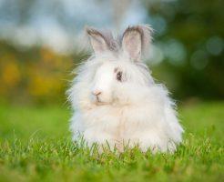 アンゴラウサギ 生息地 寿命
