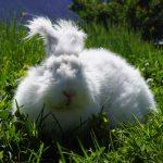 アンゴラウサギの毛刈りの方法と毛刈り後とは!?