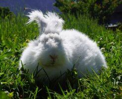 アンゴラウサギの毛むしりを見て撃沈した ...